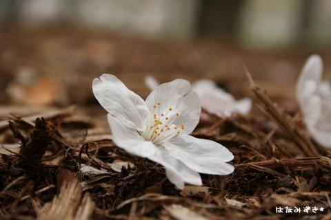 桜の姿のままで。