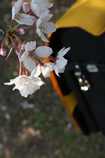 桜とランドセルw