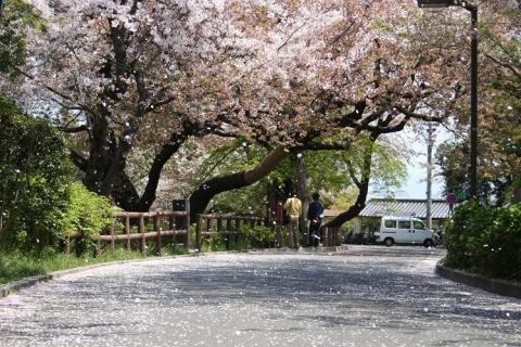 風に吹かれて舞う桜