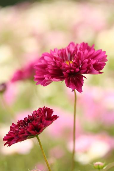 八重咲きコスモスのワイン色w