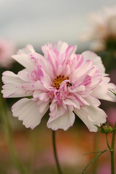八重咲きコスモスw