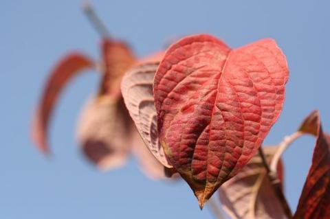 秋のハナミズキw