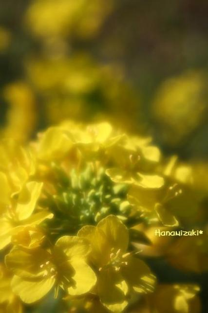 菜の花~!