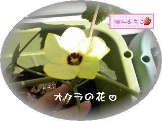 ちこちゃんの観察日記2011★20★オクラの花-2