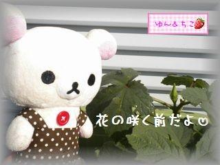 ちこちゃんの観察日記2011★20★オクラの花-3