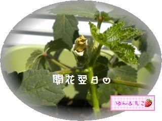 ちこちゃんの観察日記2011★21★オクラさんの成長-4