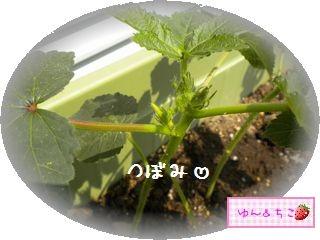 ちこちゃんの観察日記2011★21★オクラさんの成長-2