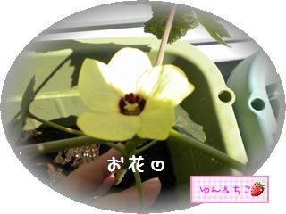 ちこちゃんの観察日記2011★21★オクラさんの成長-3