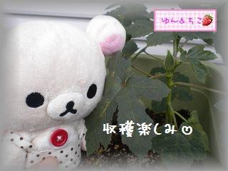 ちこちゃんの観察日記2011★21★オクラさんの成長-6