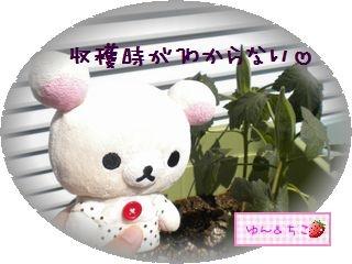 ちこちゃんの観察日記2011★22★収穫のタイミングが・・・-3