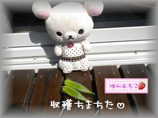 ちこちゃんの観察日記2011★23★意を決して・・・収穫-3