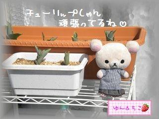 ちこちゃんの観察日記2012★8★チューリップの観察4-4