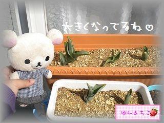ちこちゃんの観察日記2012★8★チューリップの観察4-2