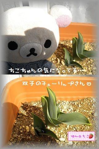 ちこちゃんの観察日記2012★8★チューリップの観察4-3