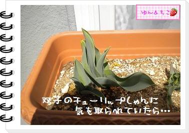 ちこちゃんの観察日記2012★9★チューリップの観察5-3