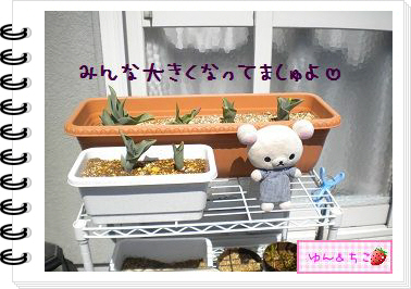 ちこちゃんの観察日記2012★9★チューリップの観察5-5