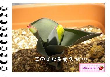 ちこちゃんの観察日記2012★9★チューリップの観察5-4