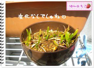 ちこちゃんの観察日記★2012★謎の野菜4-2