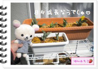ちこちゃんの観察日記2012★11★チューリップの観察6-2
