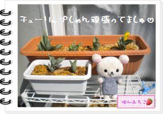 ちこちゃんの観察日記2012★11★チューリップの観察6-6