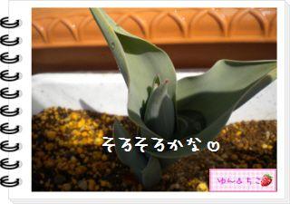 ちこちゃんの観察日記2012★11★チューリップの観察6-5