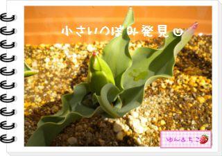 ちこちゃんの観察日記2012★11★チューリップの観察6-4