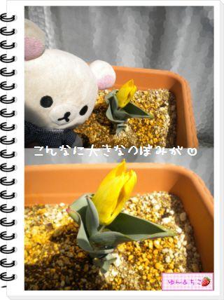 ちこちゃんの観察日記2012★11★チューリップの観察6-3