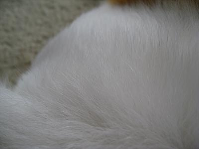 フワフワ白い毛3.6