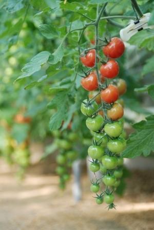 tomato_d110.jpg