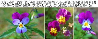 ミレの花咲く頃 02 三色すみれ自由交培