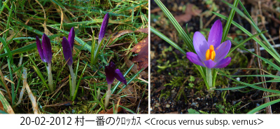 Crocus  Collage 01