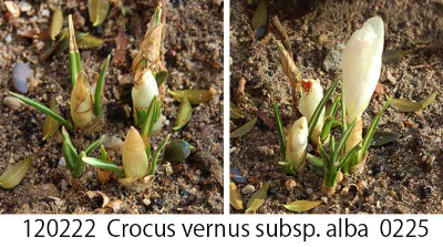 Crocus Collage 06