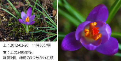 Crocus  Collage 04