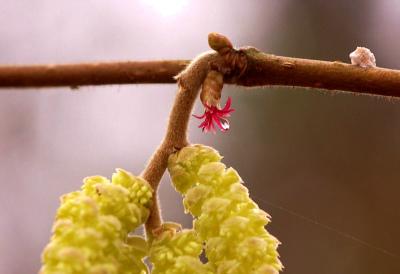 Corylus avellana 001-5 ハシバミ花芽Hazelaar