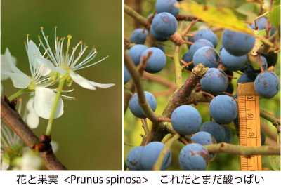 Prunus spinosa Collage 02