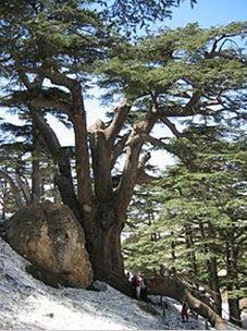 伝説のレバノン杉